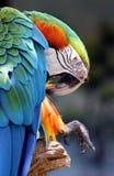 Perroquet Photos stock