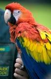Perroquet photographie stock libre de droits