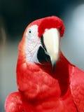 Perroquet - ara rouge Photographie stock libre de droits