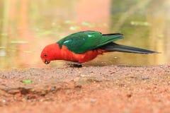 Perroquet australien de roi Photo libre de droits