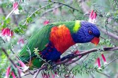 Perroquet australien, lorikeet d'arc-en-ciel Image libre de droits