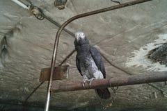 Perroquet avec le grippage à chaînes Photos libres de droits