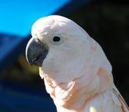 Perroquet avec le plumage blanc photo libre de droits