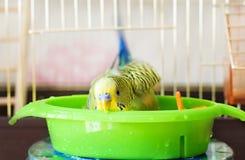 Perroquet baigné de perruche Image libre de droits