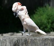 Perroquet blanc Images libres de droits