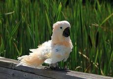 Perroquet blanc Image libre de droits