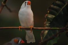 Perroquet blanc Photos libres de droits