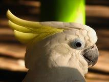 Perroquet blanc Photographie stock libre de droits