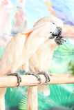 Perroquet blanc de couples sur une branche Images stock