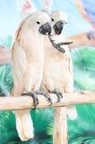 Perroquet blanc de couples sur une branche Photos libres de droits