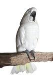 Perroquet blanc de sommeil Photos libres de droits
