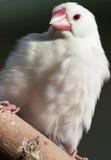 Perroquet blanc sur le branchement d'arbre (1) Photographie stock