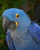 Perroquet bleu Photographie stock libre de droits