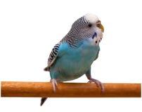 Perroquet bleu australien d'isolement Photographie stock