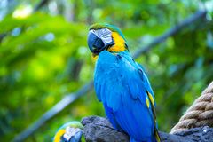Perroquet bleu d'ara sur l'arbre photographie stock libre de droits