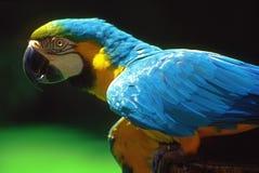 Perroquet bleu et jaune Images libres de droits