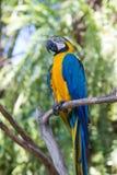 Perroquet bleu et jaune d'ara en parc d'oiseau de Bali, l'Indonésie Image stock