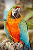 Perroquet bleu et orange Images libres de droits
