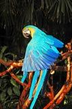 Perroquet bleu exotique photographie stock libre de droits