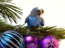 Perroquet bleu sur l'arbre de sapin, Noël. Image libre de droits