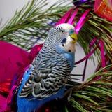 Perroquet bleu sur l'arbre de sapin, Noël. Photo libre de droits