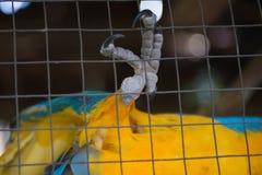 Perroquet, captif jaune bleu d'ara derrière la barrière Images libres de droits