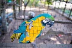 Perroquet, captif jaune bleu d'ara derrière la barrière Photographie stock libre de droits