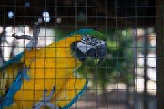 Perroquet, captif jaune bleu d'ara derrière la barrière Photographie stock