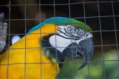 Perroquet, captif jaune bleu d'ara derrière la barrière Photo libre de droits