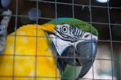 Perroquet, captif jaune bleu d'ara derrière la barrière Photos stock