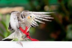 Perroquet captif tropical photo stock