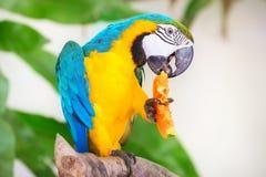 Perroquet coloré d'isolement à l'arrière-plan blanc Image libre de droits