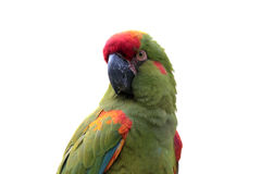 Perroquet coloré d'isolement sur le blanc Photo stock