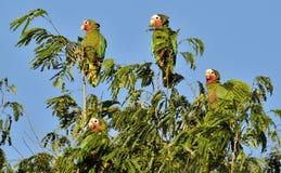 Perroquet cubain (leucocephala de leucocephala d'Amazona), Photographie stock