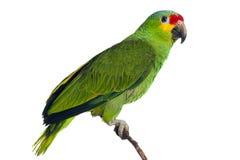 Perroquet d'Amazone Photo libre de droits