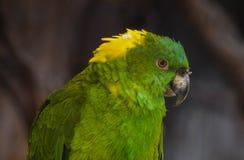 Perroquet d'Amazone Images libres de droits