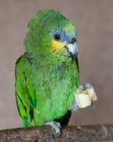 Perroquet d'Amazone Photographie stock libre de droits