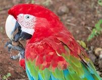 Perroquet d'ara d'écarlate, les plus grands perroquets au monde images libres de droits