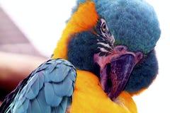 Perroquet d'ara Photo stock