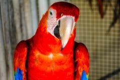 Perroquet d'ara Photo libre de droits
