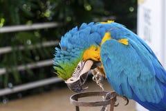 Perroquet d'ara dans jaune et bleu Photographie stock