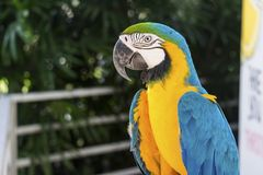 Perroquet d'ara dans jaune et bleu Image stock