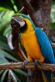 Perroquet d'ara de Bleu-et-or, les plus grands perroquets au monde photographie stock