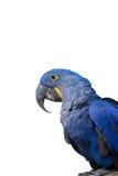 Perroquet d'ara de jacinthe Photographie stock libre de droits