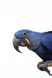 Perroquet d'ara de jacinthe Images libres de droits