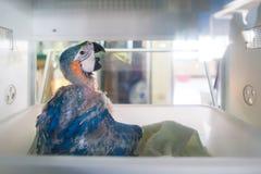 Perroquet d'aras de bébé dans des incubateurs Photographie stock