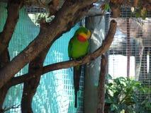 Perroquet d'arc-en-ciel dans une cage Photographie stock libre de droits