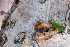 Perroquet d'Australie sur l'arbre de boab image libre de droits