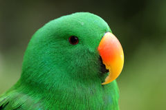 Perroquet d'Eclectus Photo stock