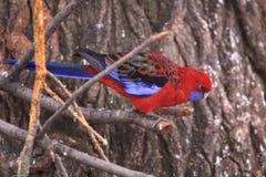 Perroquet d'Eclestus Images libres de droits